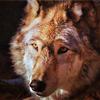 прожорливый койот