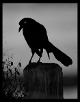 Atheling of Blackbirds