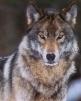 Lady_Werewolf