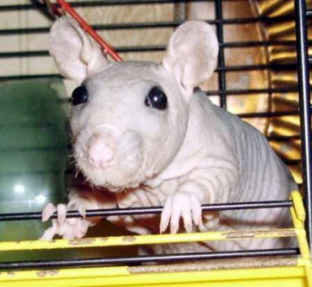 Крыса сфинкс : фотографии Домашние животные.