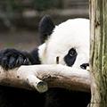 Панда-параноик