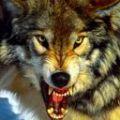 Волк Велес