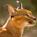 Felis caracal