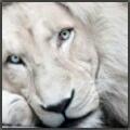 Leo albus