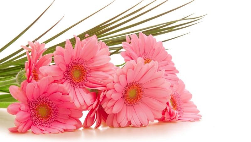 1280x1024 розовые, герберы, белый фон, цветы, gerbera hd обои на рабочий стол 2781