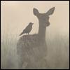 Lady_Deer