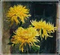 жёлтая хризантема