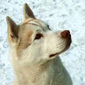 Глухой Волк