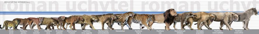 Panthera leo atrox size