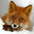 Oxi Foxy