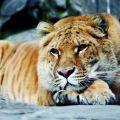 Ligress-Cat