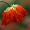amber dandelion