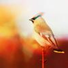 Uccello Spreo
