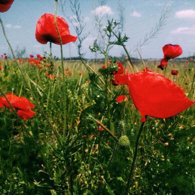 маковое поле в краснодарском крае