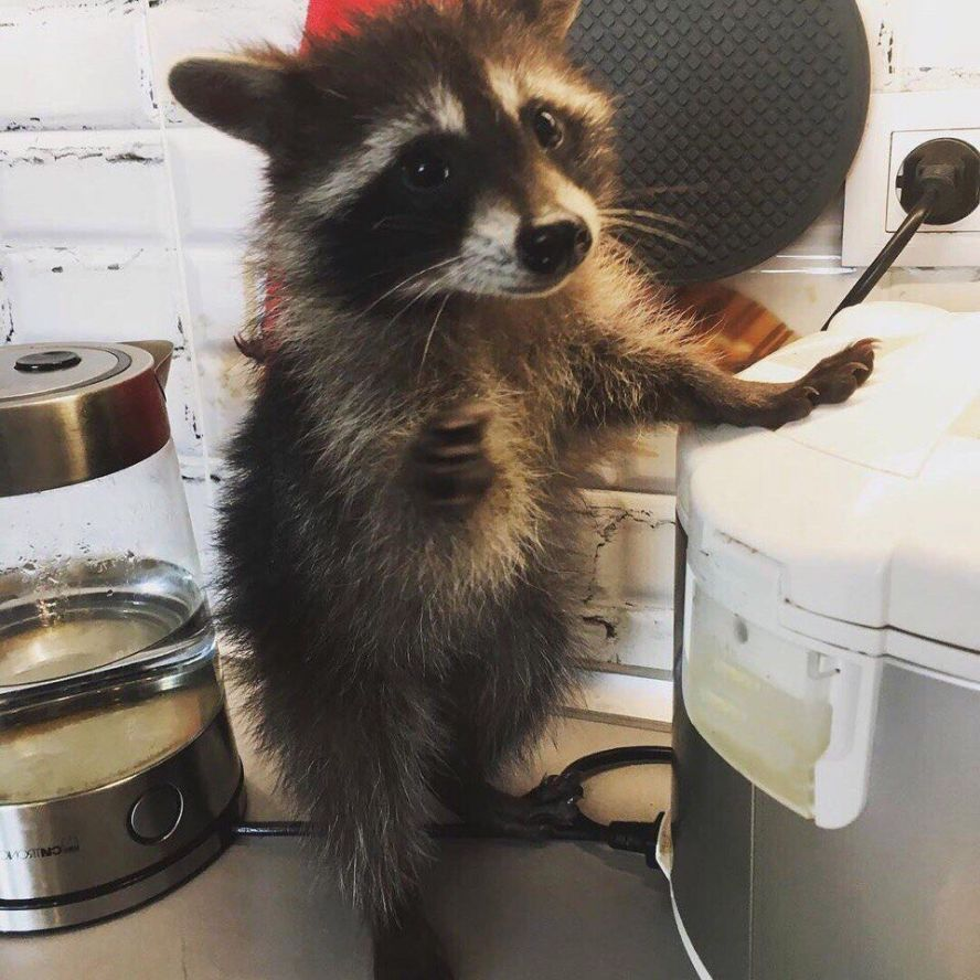 raccoon jewish singles Twitter users have been tracking the raccoon's progress after it was first spotted climbing the ubs tower in st paul, minnesota, on tuesday morning - and by wednesday, it made it.