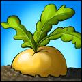 Brassica Rapifera