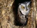 hypno_owly