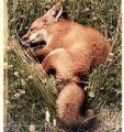 Stray fox