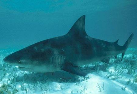 Подозреваемый 2 - Бычья тупорылая акула или Кархаринус леукас.