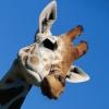 Жираф озера Чад