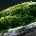 дежурный мох