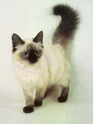 Породы кошек: Балинезийская (Балийская), Фотография 5.