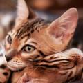 Aby-Cat