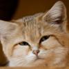 кошка брыська