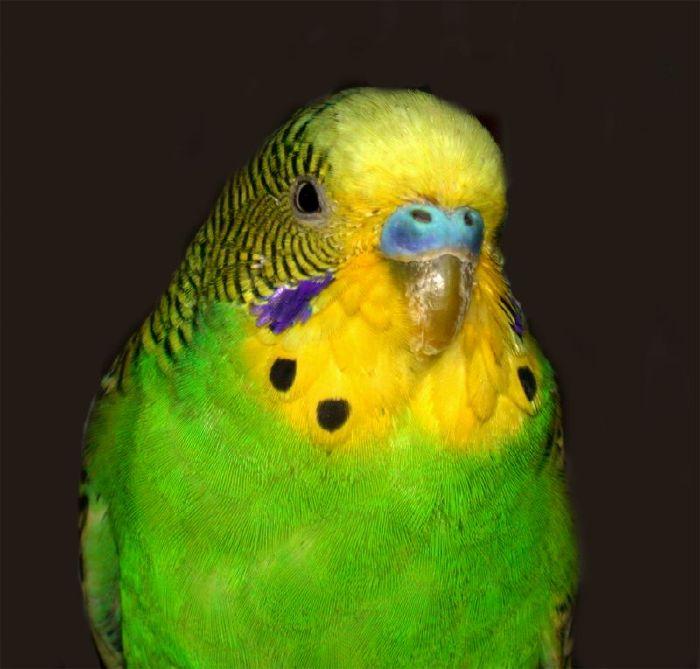 Соседи принесли нам волнистого попугайчика.  Они нашли его на улице замерзающего на осеннем ветру и ослабевшего от...