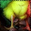 Изюмонеядный цыпленок
