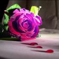 Bleeding_Rose