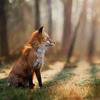 лохматый лис
