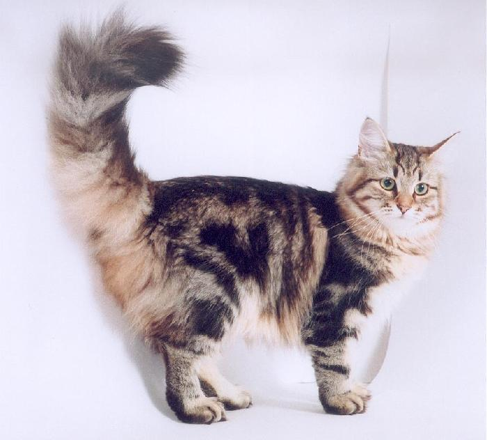Картинки по запросу Медленно виляющий хвост у кошки