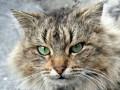 кот Тасар