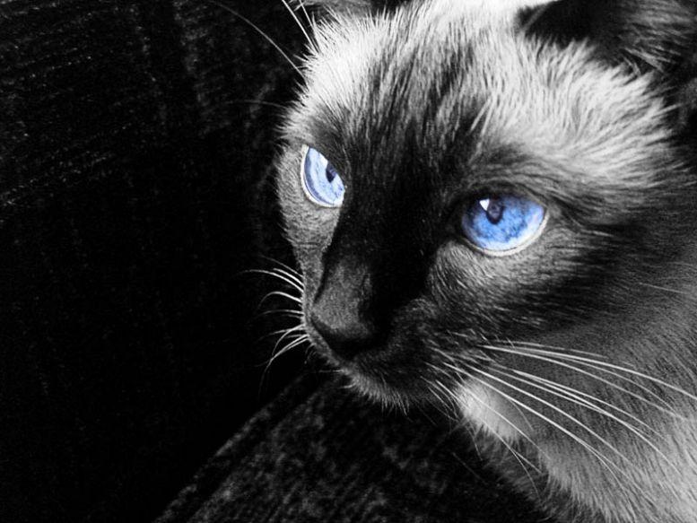 b сиамские кошки фото.