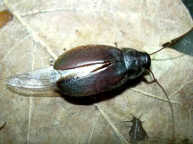 мадагаскарский таракан фото.