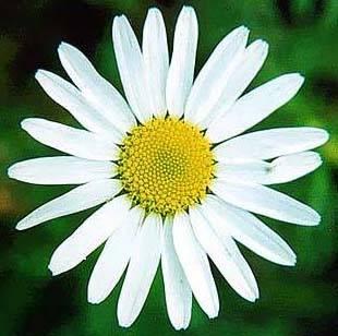 """Leucanthemum vulgare "" или  ""Chrysanthemum leucanthemum "" - Дикорастущая ромашка признана..."