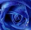 Тая. Черная роза.