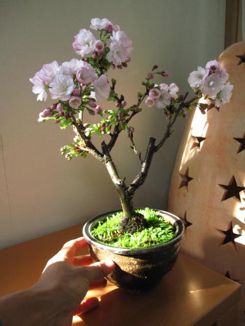 Условия для выращивания сакуры 367