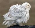 птица белая 1 шт.