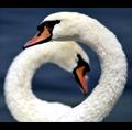 Беспечный Лебедь