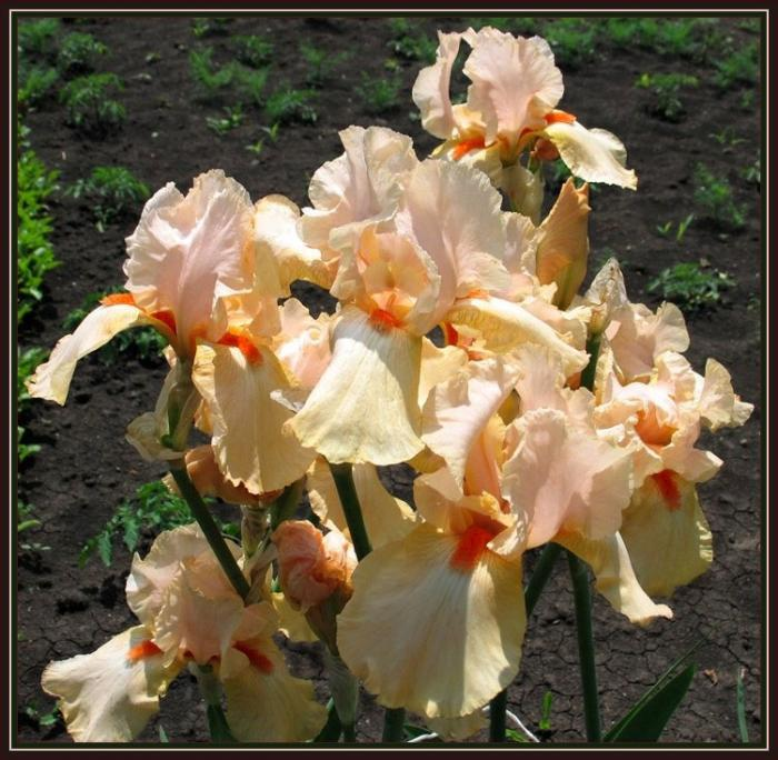 В 2006 году, осенью, посадила множество ирисов, а зацвели в 2007г...