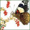 elderberry