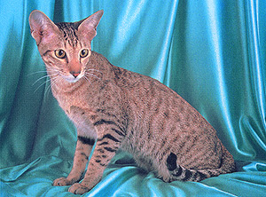 ориентальная кошка фото - фотография 1.