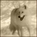 Wolf Karen