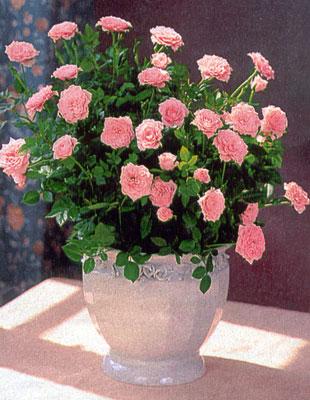 Миниатюрная роза в домашних условиях