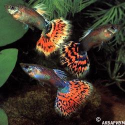 фото рыбки гуппи.