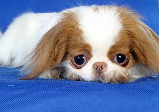 """Эти миниатюрные щенки  """"японского хина """" с симпатичной мордашкой доставят..."""