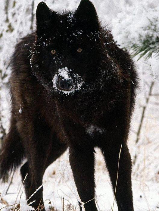 Скачать Черные Волки Торрент