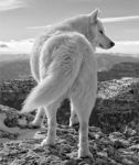 [Arctic Wolf]